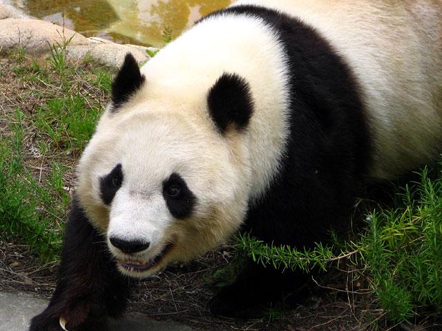 ジャイアントパンダの画像 p1_20