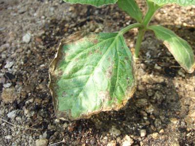 葉枯病か斑点病でしょうか?葉の周囲から茶色く枯れてきたものがあります。... カポエイラ・ブログ