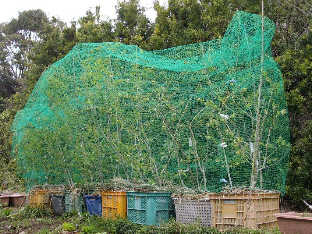 コンテナのブルーベリーのネット掛け : ブルーベリーの育て方& 栽培 ブルーベリー ノート BlueBerryNote