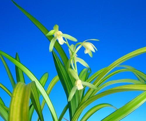 Tags:#恵蘭・蕙蘭・ケイラン 東洋蘭 花図鑑 東洋蘭 日本春蘭 中国春蘭 奥地蘭 春蘭の写真