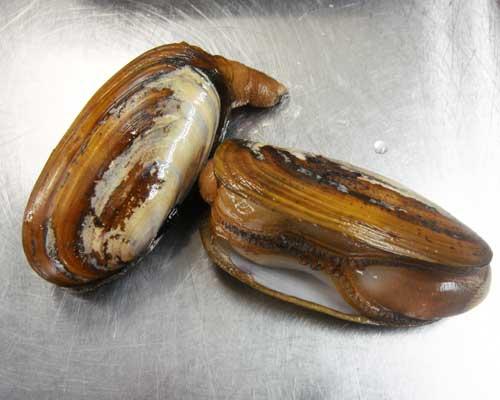 主に北海道が産地のこちらのオオミゾ貝、食用二枚貝の多くはハマグリやアサリ... 横浜フレンチ 『