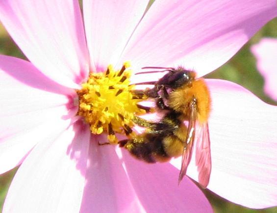 ミツバチの画像 p1_14