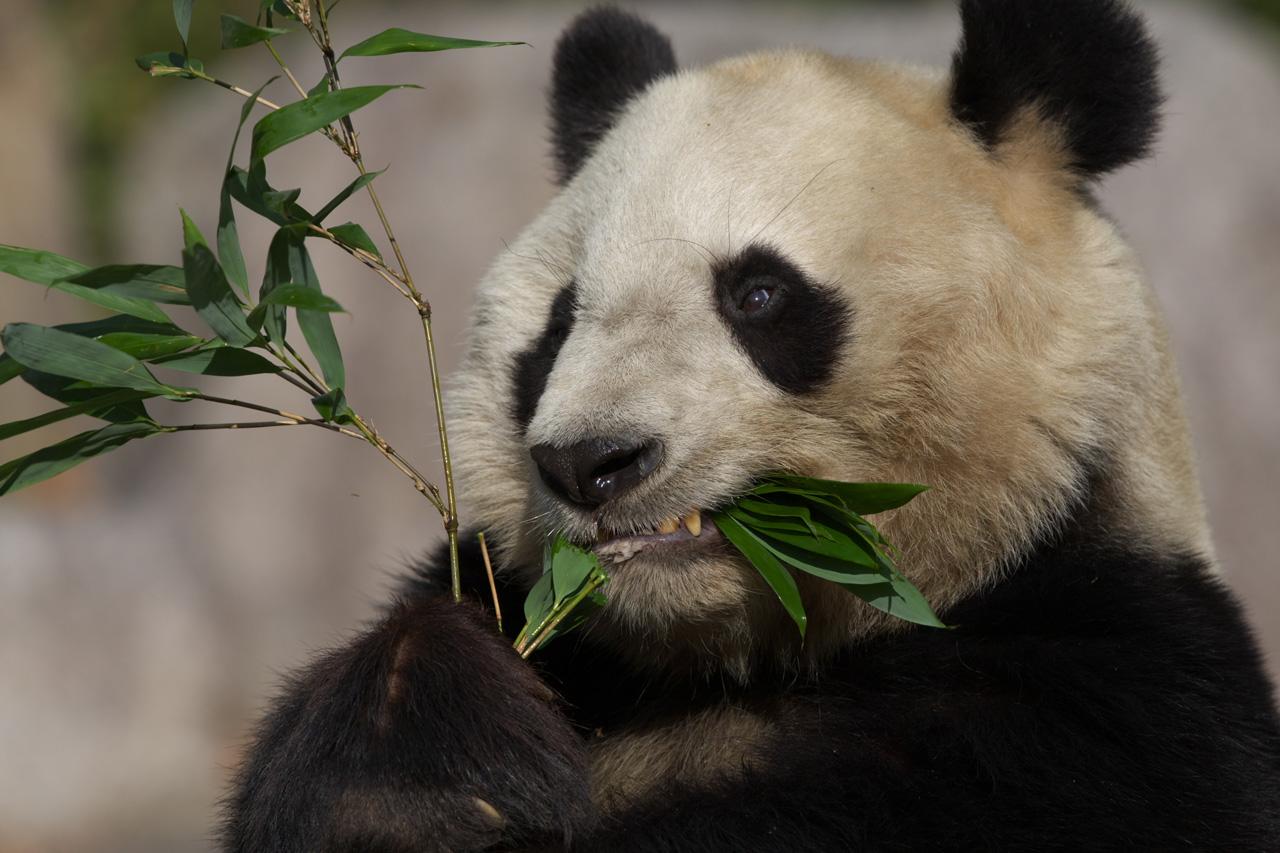 ジャイアントパンダの画像 p1_31