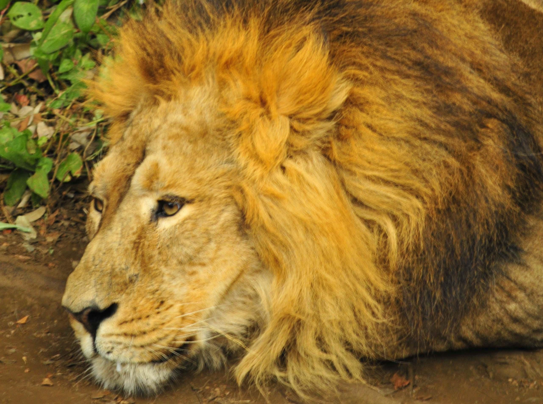 ライオンの画像 p1_30