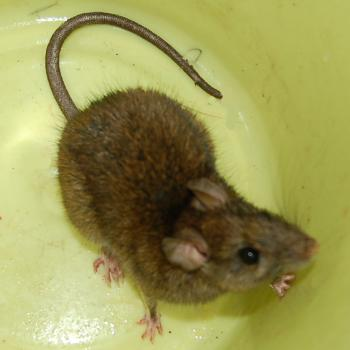 ネズミの画像 p1_17
