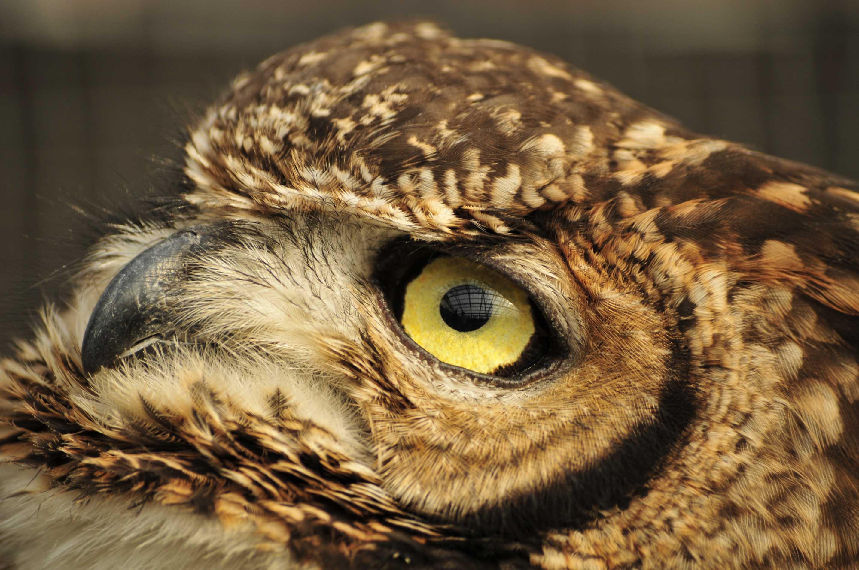 フクロウの画像 p1_21