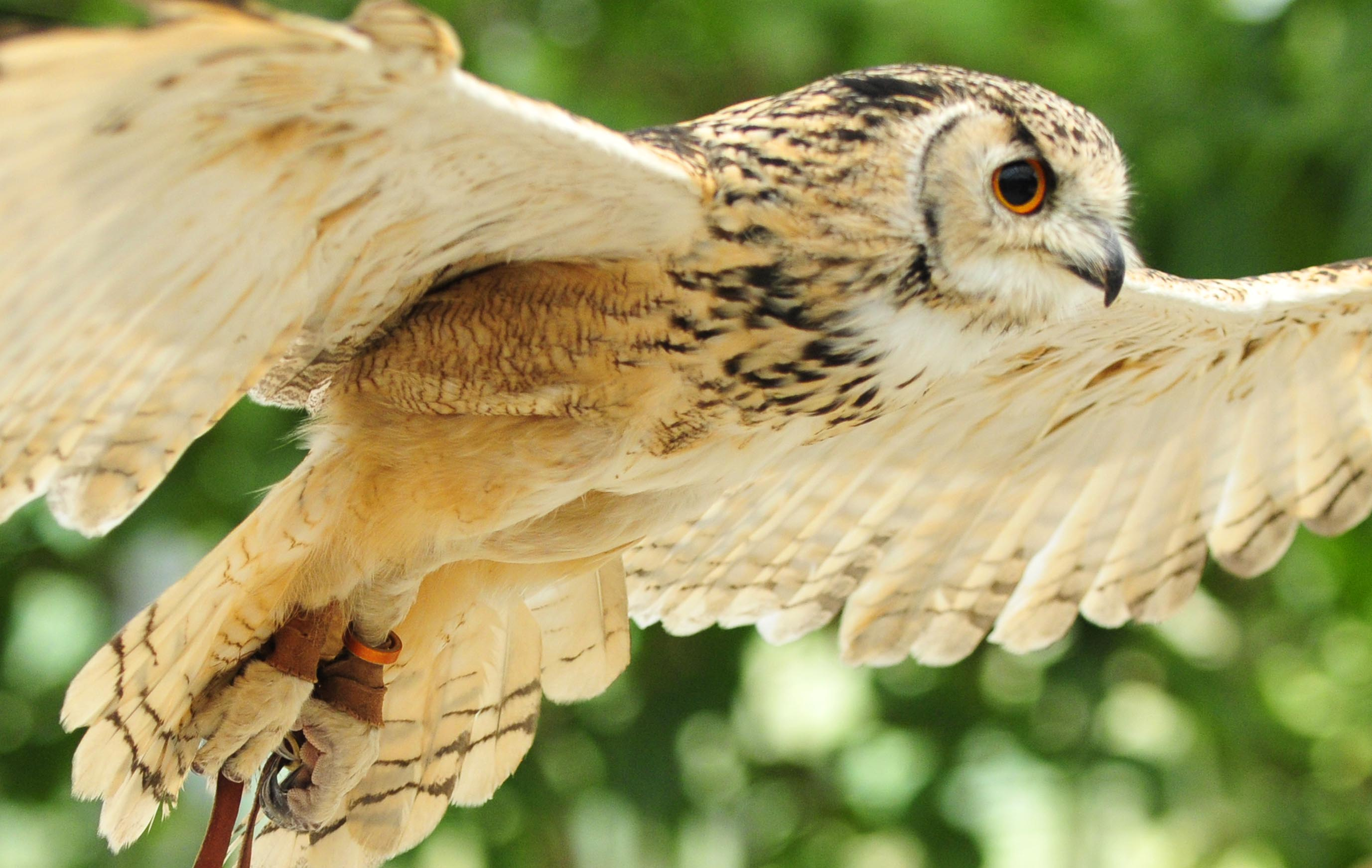 フクロウの画像 p1_37