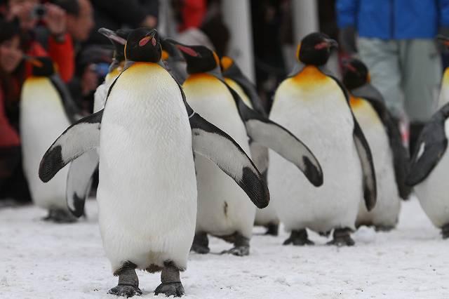 ペンギンの画像 p1_21