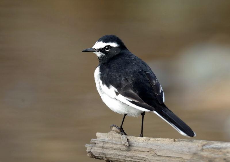 成鳥 11月成鳥 11月  野鳥図鑑 (日本の野鳥650参考 真木広造氏)