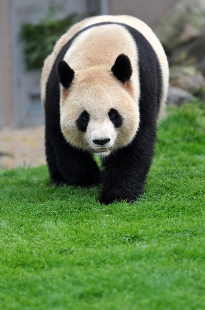 パンダの画像 p1_33