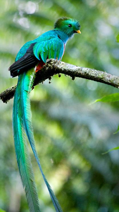 今日は世界で一番美しい鳥といわれている幻の青い鳥、「ケツァール」について... 世界で一番美しい