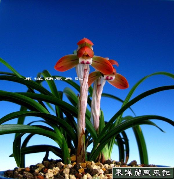 日本春蘭紅花「小春」◆「東洋蘭花図鑑」へようこそ!!,、。いつも「東洋蘭... 東洋蘭 花図鑑