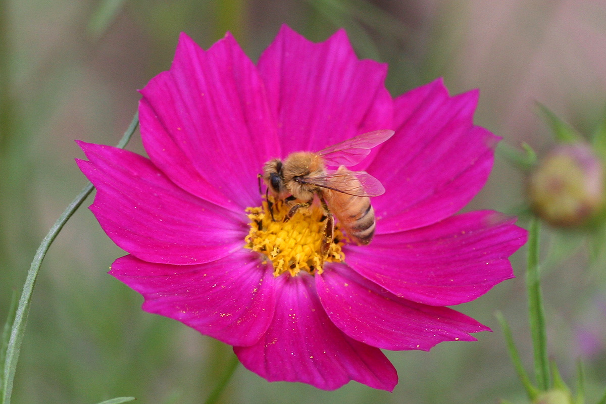 ミツバチの画像 p1_36