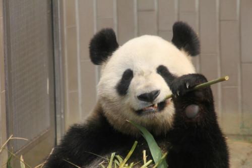 ジャイアントパンダの画像 p1_9