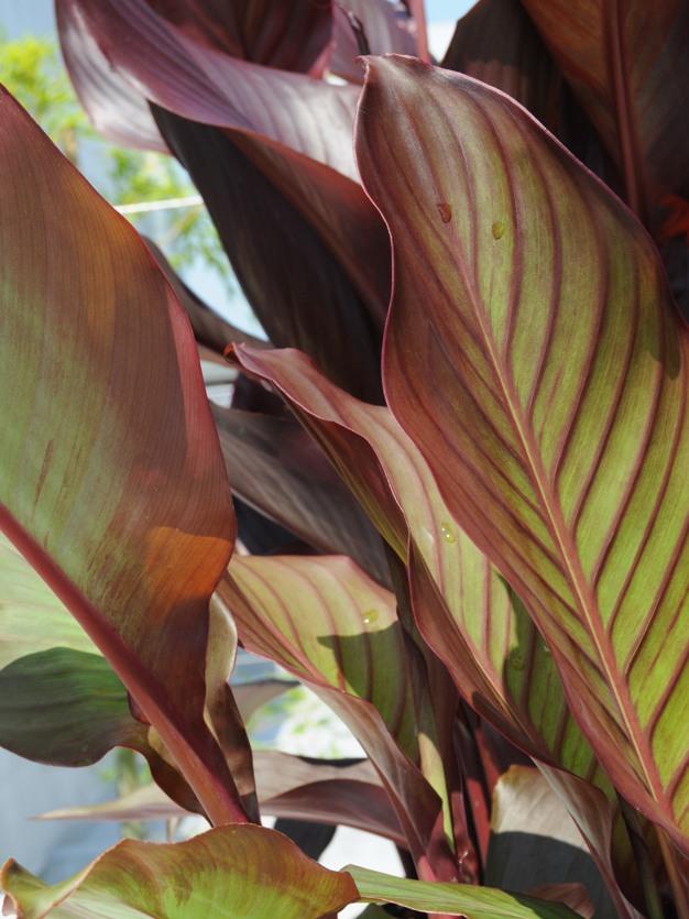 カンナ (植物)の画像 p1_34