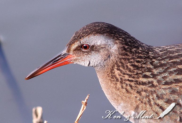 目の周りが赤い鳥 - まったり名護暮らし