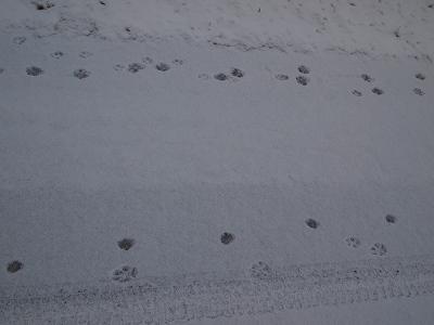野犬と思われる足跡に並んで小さな足跡がポチポチと続いているがなんだろう。... 2月14日、曇り
