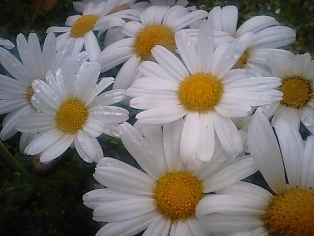 マーガレット (植物)の画像 p1_33