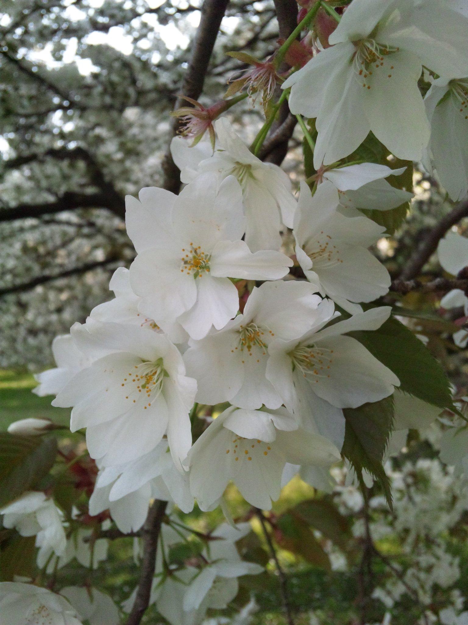 桜といえば、ソメイヨシノが代表的な日本の桜であるが、オオシマザクラ(大島... 桜の花にこめられ