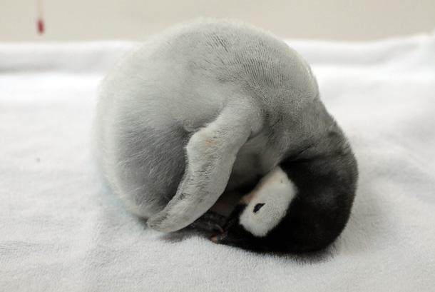 グッスリ眠るペンギン