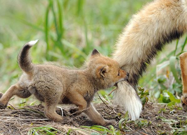 Cute Fox CubsCute Fox Cubs