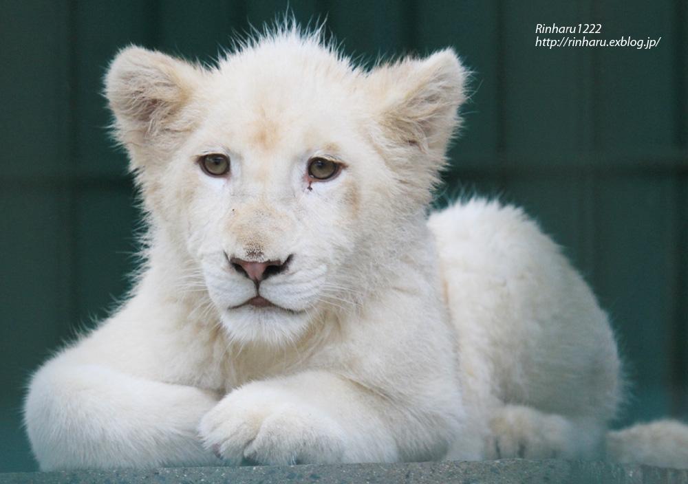 NAVER まとめ【ホワイトライオン】食肉類だけどかわいくてしかたがないホワイトライオン画像集