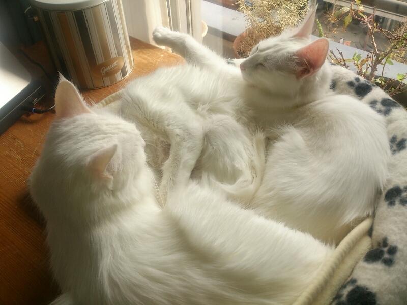 ターキッシュアンゴラ ホワイト Turkish Angora White